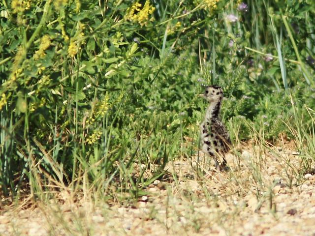 Upland Sandpiper chick 02-20160618