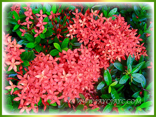 Dwarf Red Ixora, 16 May 2016