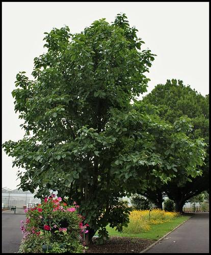 Ehretia macrophylla -Cabrillet à grandes feuilles