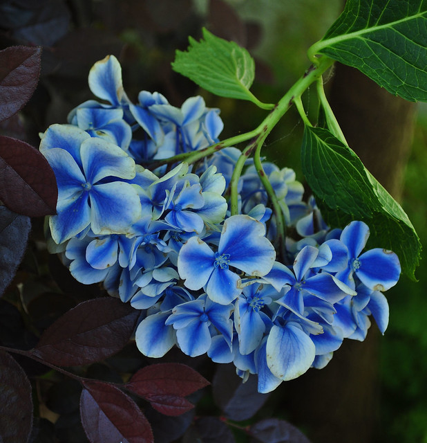 Hydrangea macrophylla 'Frau Kinue' (Angel Robe)