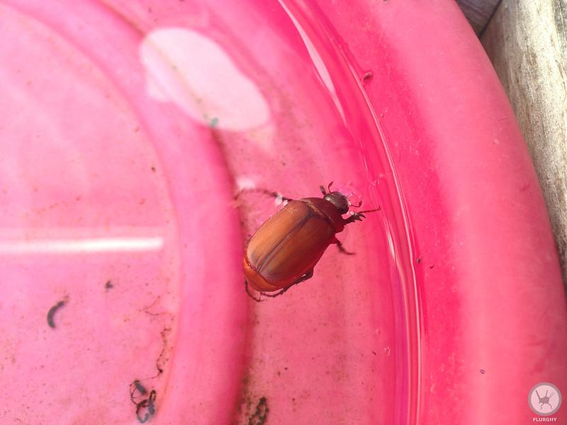 brown scarab beetle