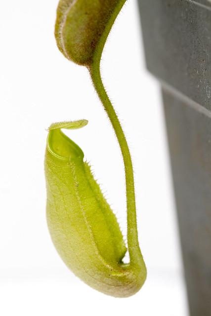 "N. maxima ""Wavy Leaves"" BE"