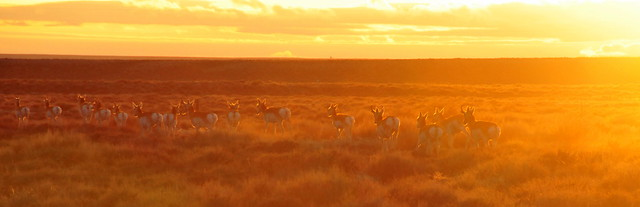Pronghorns at Sunset Seedskadee NWR