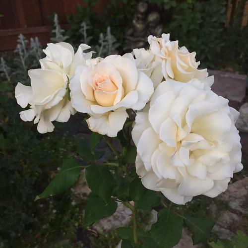 Some sort of #davidaustinrose #rose #roses🌹