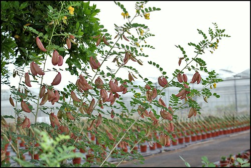 Colutea arborescens (2)