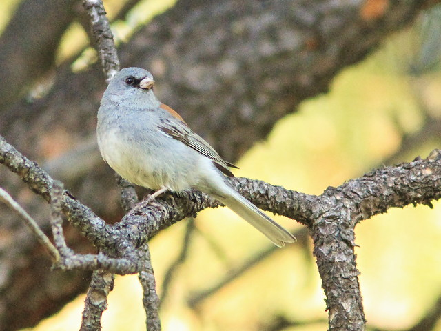 Slate-colored - Gray-headed Junco 03-20160614