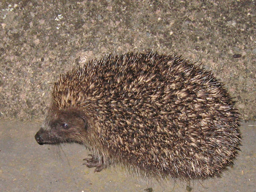 My last hedgehog siting (2010)2887a