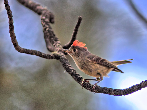 Ruby-crowned Kinglet HDR 01-20160611