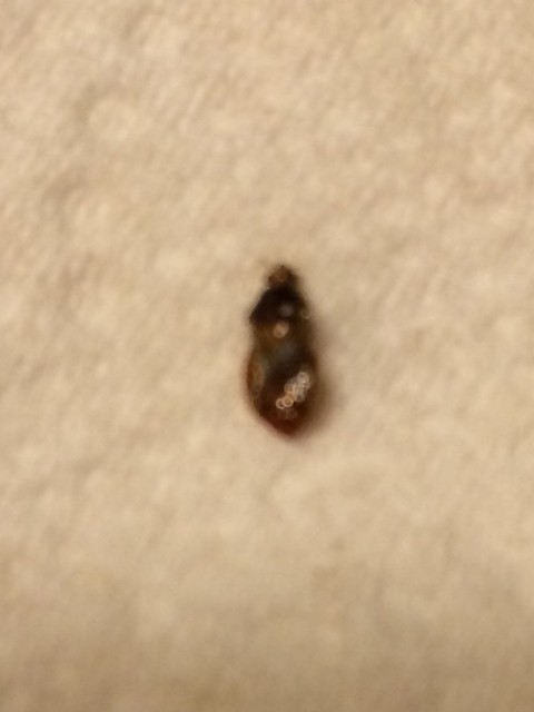 Gray Bug On Bed : Bug id needed a outdoor ? got bed bugs bedbugger
