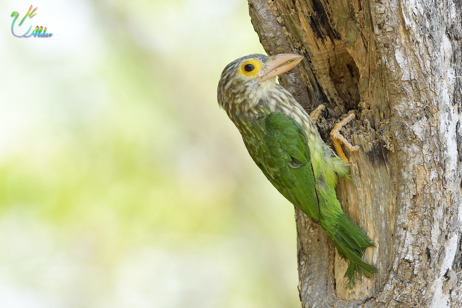 Lineated_Barbet_6843