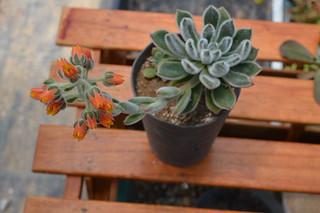 DSC_3351 Echeveria cv. Bombycina  エケベリア ボンビシナ (白閃冠)
