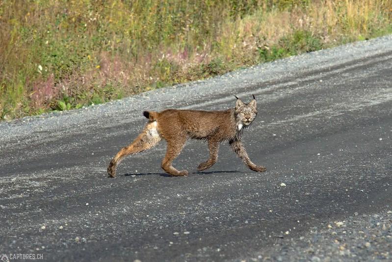 Lynx - Denali Highway