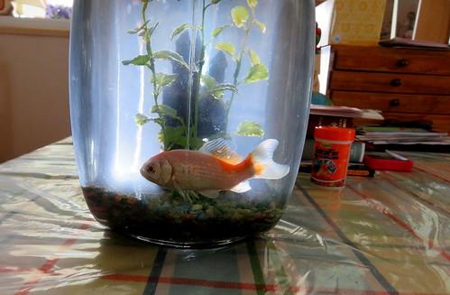 Cody the goldfish