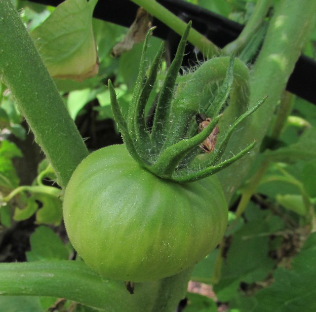 Things Growing in our Yard on June 8, 2016