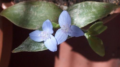 Tradescantia zebrina var. flocculosa 15877463677_ac302204dc