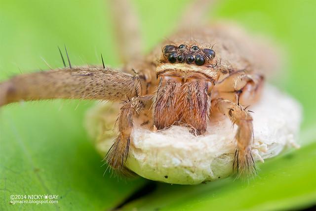 Huntsman spider (Heteropoda sp.) - DSC_4070