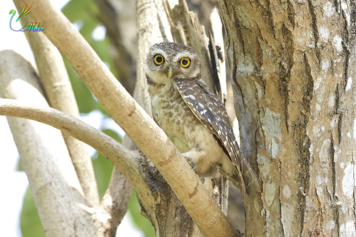Spotted_Owlet_7019