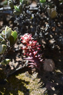 Crassula sp.  クラッスラ 不明種