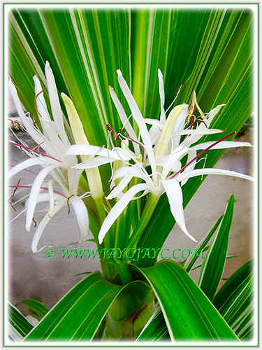 Flowering Variegated Crinum Lily at our frontyard, 23 Aug. 2016