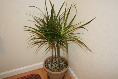Những loại cây hút sạch bức xạ, sóng điện thoại, khói thuốc lá nhất định phải trồng 1 chậu trong nhà