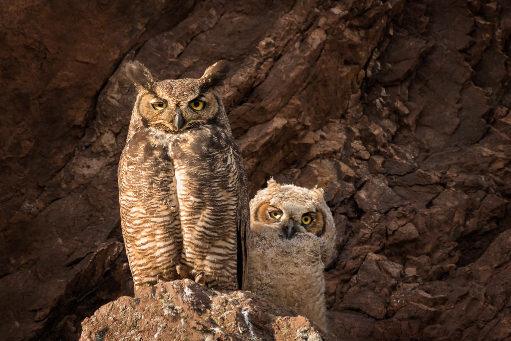 Great Horned Owls...Happy Mother's Day...EXPLORE