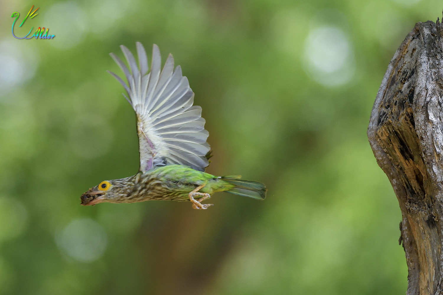 Lineated_Barbet_7110