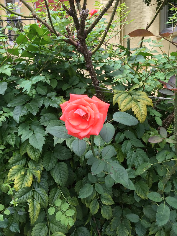 Breezy rose
