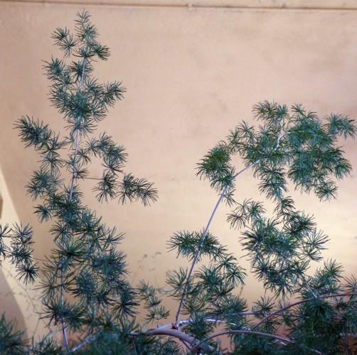 Asparagus retrofractus 29341883901_877d5364ac_o