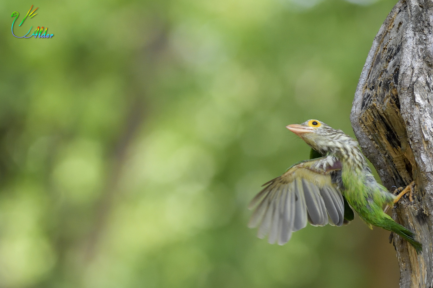 Lineated_Barbet_6866