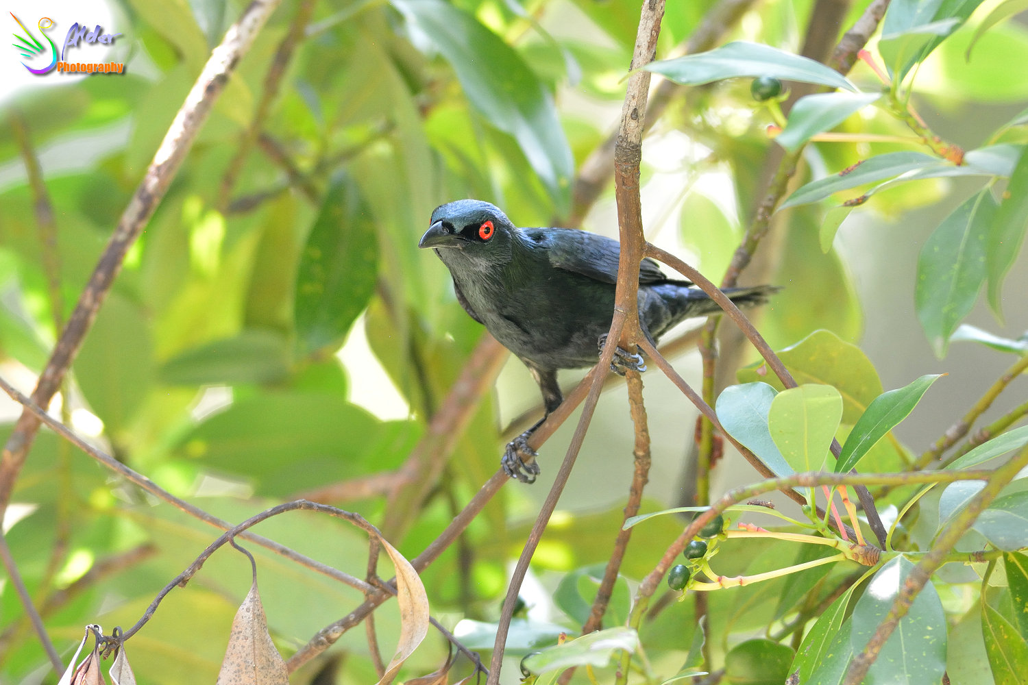 Asian_Glossy_Starling_7593