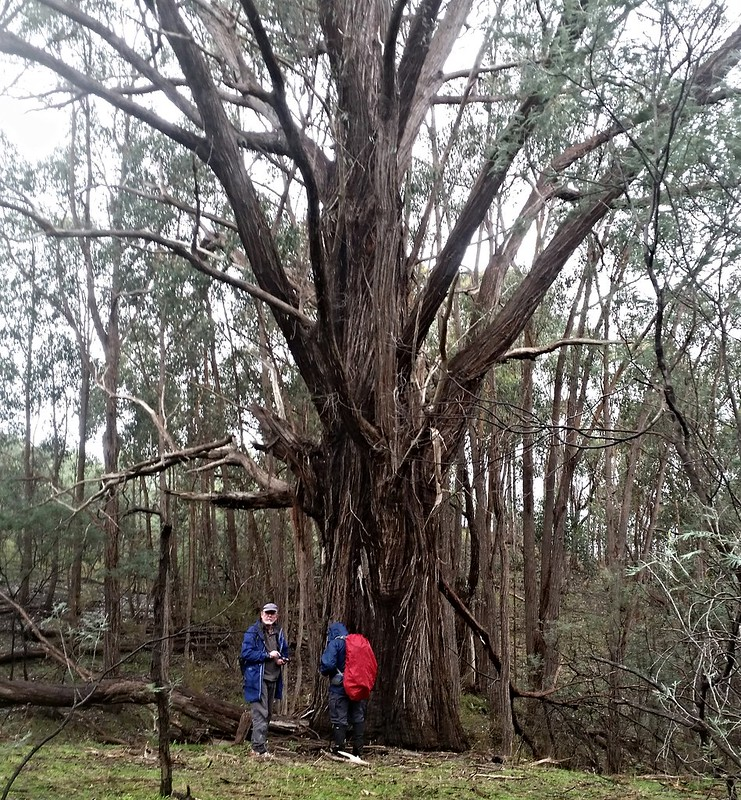 The Big Stringybark