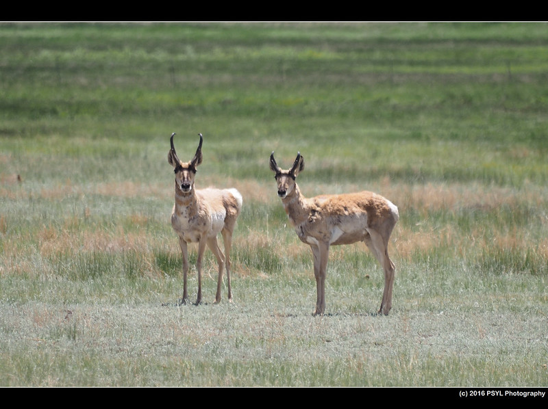 Pronghorns (Antilocapra americana)