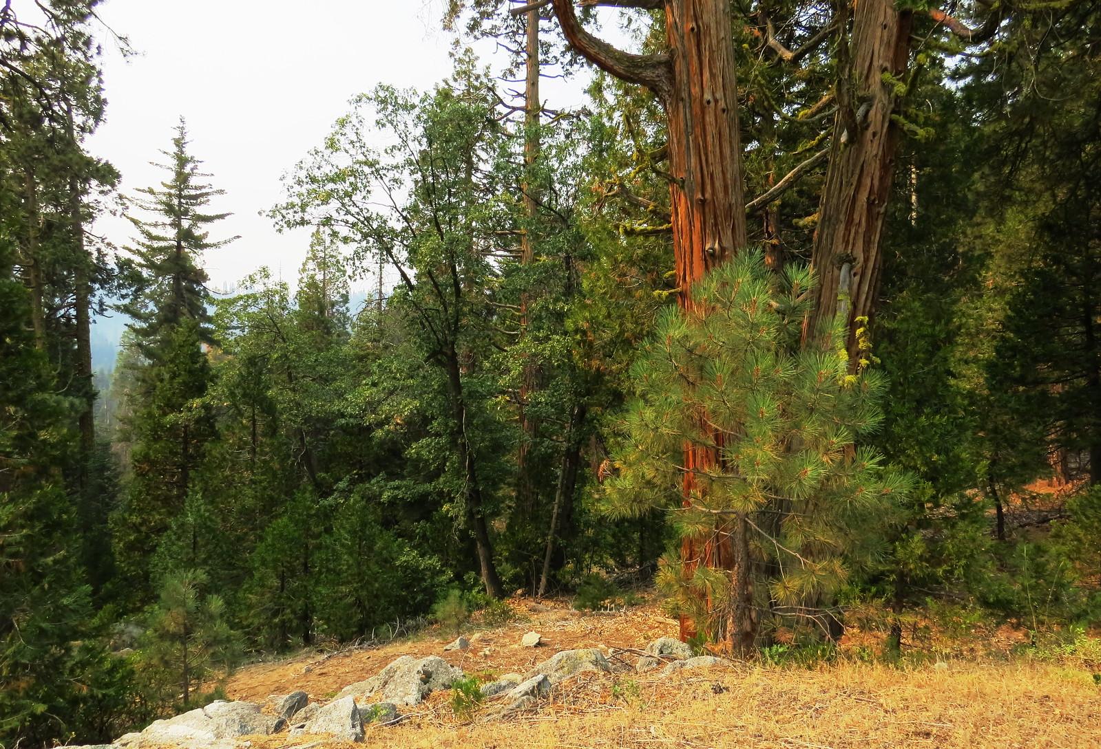 Three pines, Kings Canyon, CA
