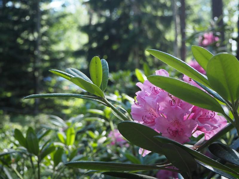 alppiruusupuistohelsinkiP6015521,rodopuistoP6015517, rhodopuisto, alppiruusupuisto, haaga, huopalahti, helsinki, suomi, finland, visit helsinki, tips, retki, nature, alppiruusu,rhododendron, haaga, rodopuisto, rhododendron park, alppi ruusut, kukat, flowers, haagan alppiruusupuisto