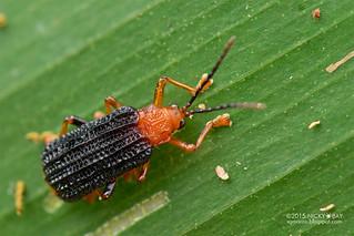 Leaf beetle (Chrysomelidae) - DSC_6240