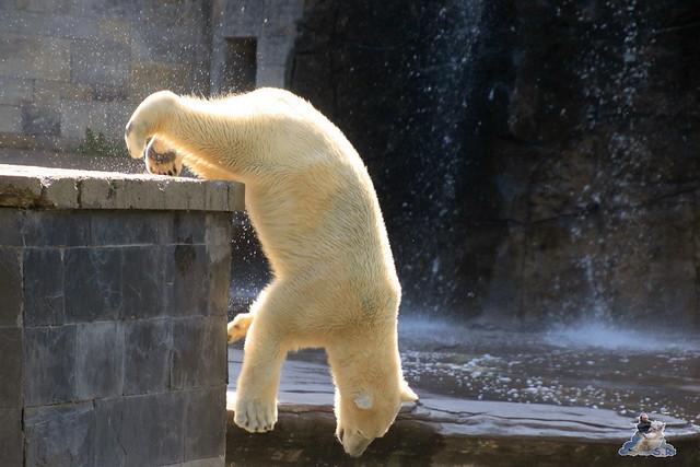 Eisbär Fiete im Zoo Rostock 04.06.2016   010