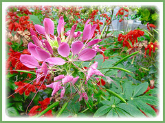 Captivating pink flowers of Cleome hassleriana (Spider Flower, Spiderplant, Pink Queen, Grandfather's Wiskers), 5 Aug. 2011