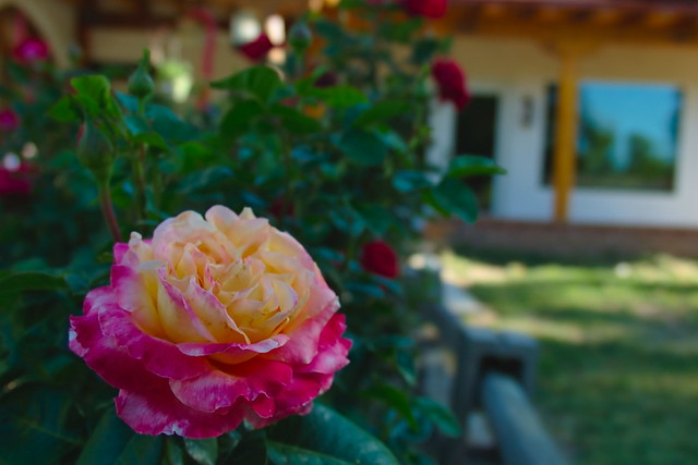 New Mexico Rose