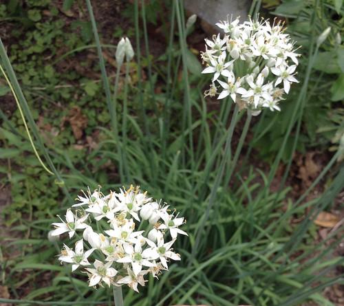 Wild Onion Flowers IGFB22