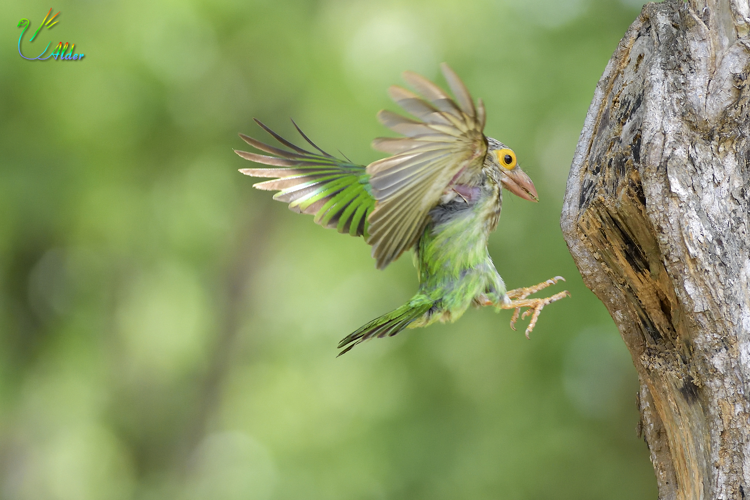 Lineated_Barbet_6899