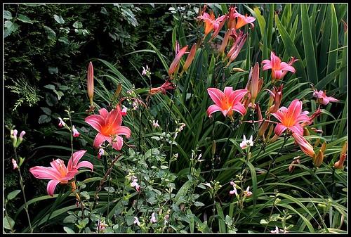 Hémérocalle 'Neyron Rose' (2)