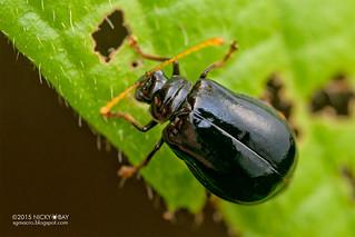 Leaf beetle (Galerucinae) - DSC_6304