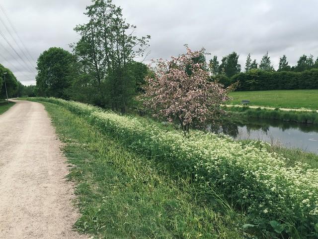 Untitled, suomi, finland, nature, luonto, jog, lenkki, juoksu, kävely, running, walking, kesä, summer, river, joki, vaaleanpunainen puu, pink tree, saturday jogging, lauantai juoksulenkki,