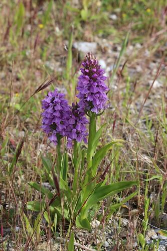 Southern Marsh Orchid Dactylorhiza praetermissa