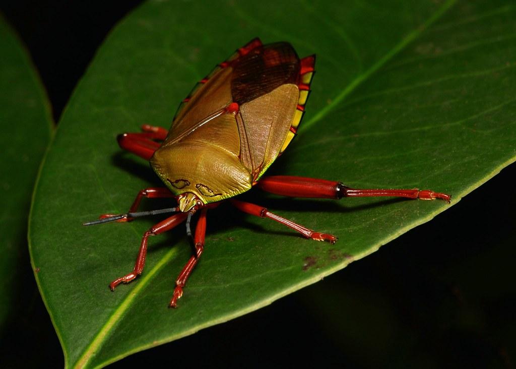 Giant Shield/Stink Bug (Eusthenes sp., Tessaratomidae)