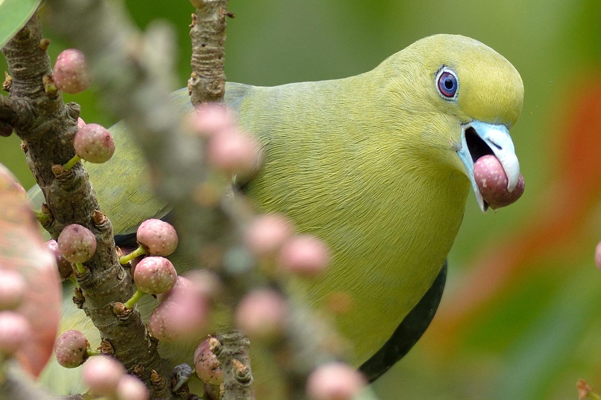 Japanese_Green_Pigeon_8631_O