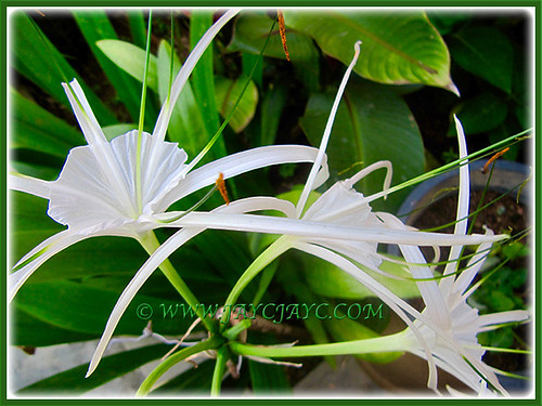 Hymenocallis to brighten our garden, 19 April 2016