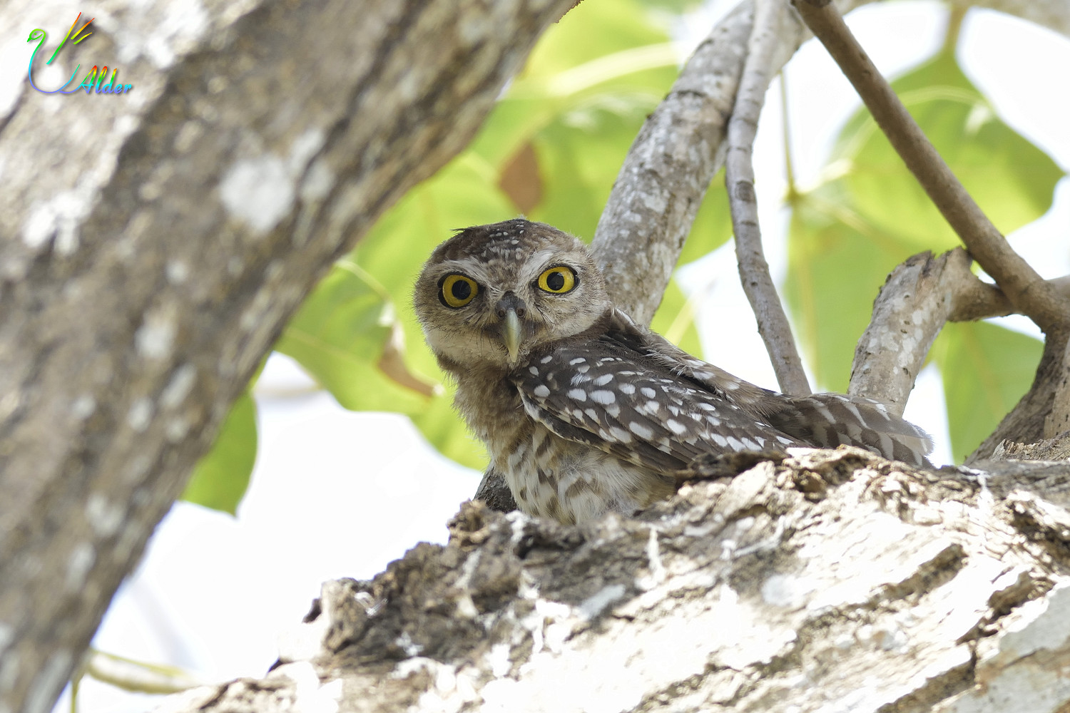 Spotted_Owlet_7086