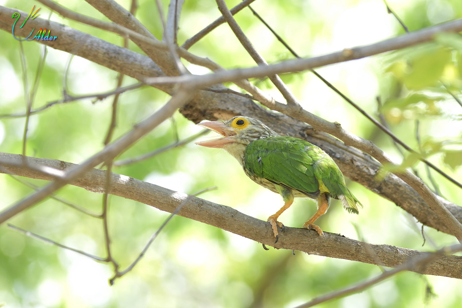 Lineated_Barbet_7100