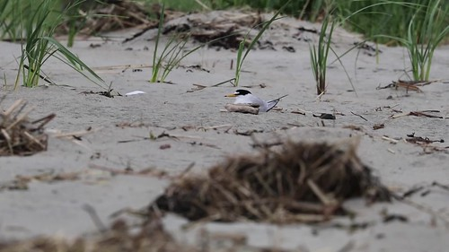 Male Least Tern flies in with fish; both fly off.